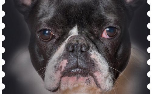 27 januari: Honden naderbij (Bulldog)
