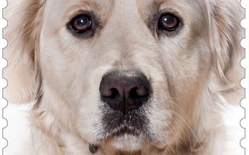 27 januari: Honden naderbij (Golden Retriever)