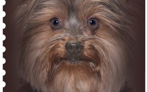 27 januari: Honden naderbij (Yorkshire Terrier)