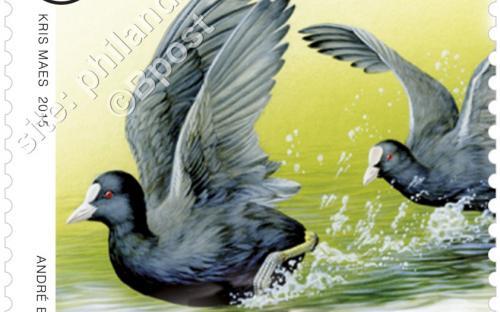23 maart: Dieren in beweging (André Buzin) - Meerkoet