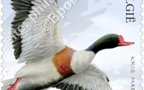 13 juni: Het nieuwe Zwin, Bergeend (Tadorna Tadorna)