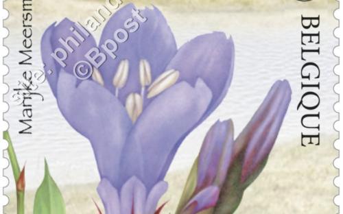 13 juni: Het nieuwe Zwin, Lamsoor (Limonium Vulgare)