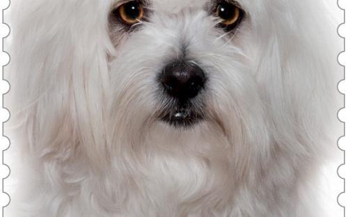 27 januari: Honden naderbij (Maltezer)
