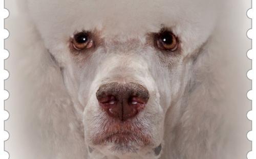 27 januari: Honden naderbij (Poedel)