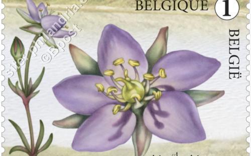 13 juni: Het nieuwe Zwin, Gerande schijnspurrie (Spergularia Media)